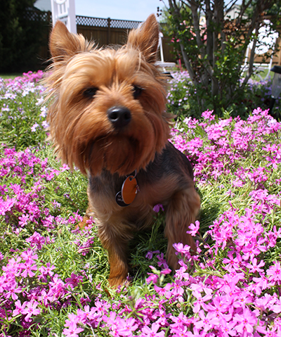 Small yorkie sitting in flowers