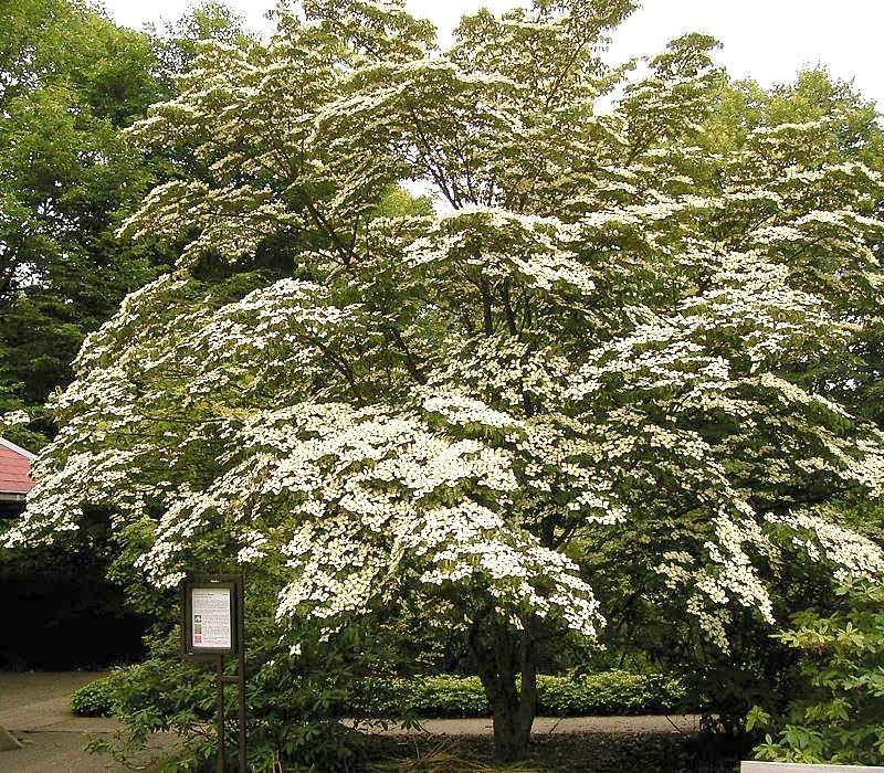 Roughleaf Dogwood (Cornus Drummondii)