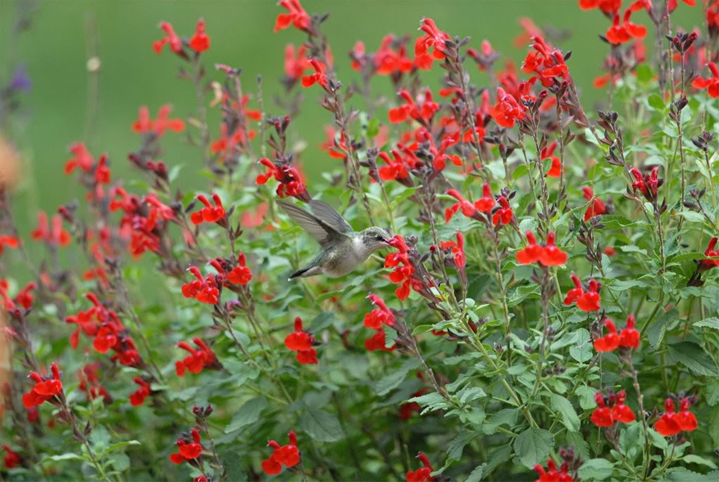 Salvia Greggii Red
