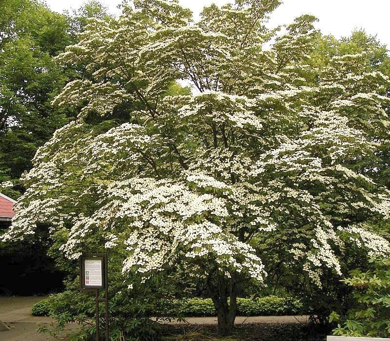 Highland park tx official website garden area 3 roughleaf dogwood mightylinksfo