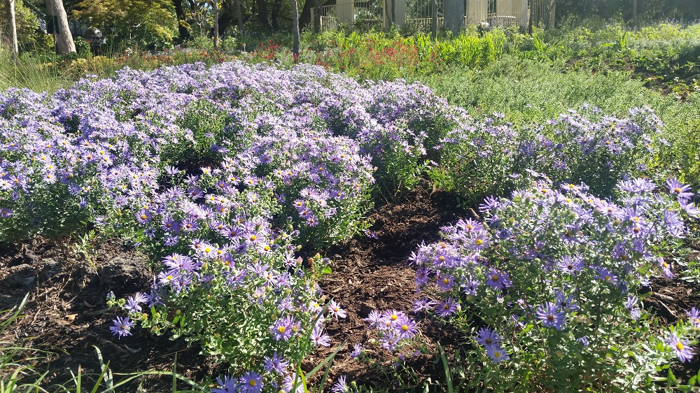 Dwarf fall asters